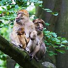 Barbary Monkeys  Family of Monkeys  by Elaine123