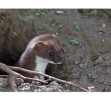 Stoat in the Hole Photographic Print