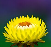 Yellow Strawflower by stephaniellen