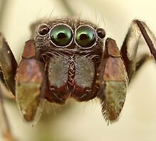 ant mimic jumping spider by fishnrobo