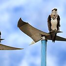 A Pair of Ospreys by Adam Gormley