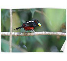 Black-and-red Broadbill - Cymbirhynchus macrorhynchos Poster