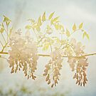 Wisteria in the Spring Sunshine by Lisa Holmgreen
