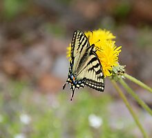 Canadian Tiger Swallowtail Butterfly - Kenai, Alaska by MrMarth