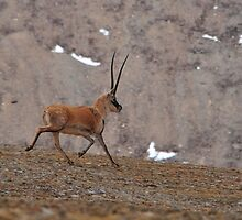 A single male Tibetan antelope in summer coat by liutong