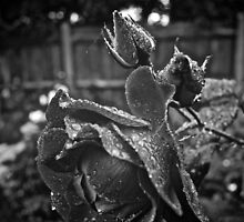 Raindrops on Roses by Melissa Fuller