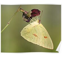 Large orange sulphur butterfly displaying its long tongue! Poster
