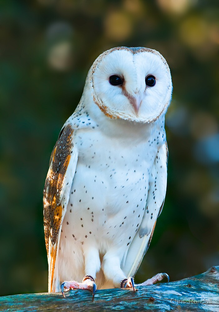 'Marion' the  Barn Owl  by Chris  Randall