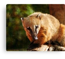 Ring Tailed Coati Canvas Print