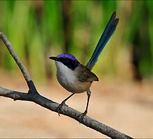 Purple Crowned Fairy Wren - North Western Queensland by Alwyn Simple