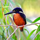 Azure Kingfisher_Gregory River in North West Queensland by Alwyn Simple