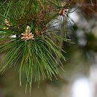Pine needles by anneisabella