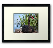 Black Swan & Cygnet Framed Print