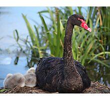 Black Swan & Cygnet Photographic Print