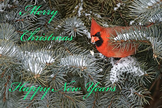 Christmas Card - Male Cardinal by Michael Cummings