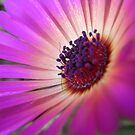 Magenta Explosion by lissygrace