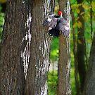 Pileated Woodpecker  by Diane  Kramer