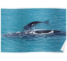 Southern Right Whales. Head of the Bight S.A Poster