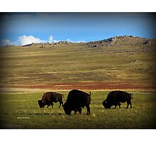 Bison on Antelope Island Photographic Print