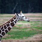 Giraffe by Melanie  Barker