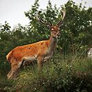 Red deer II by Matthias Keysermann