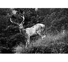 Red deer III Photographic Print
