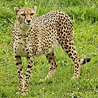 Cheetah (Acinonyx jubatus) by Mark Hughes