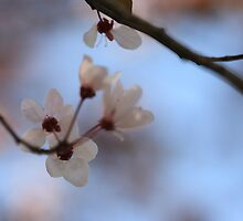 blossoms against a blue sky by akwphotography