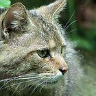 Wild cat by jankolas