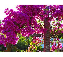 Bougainvilleas in the bright tropical sun Photographic Print