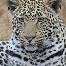 2-year old Male Leopard by MarkySA