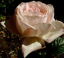 A Rose for Rose: Photograph by Lynda Earley
