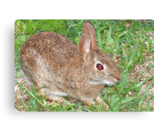 Cottontail close-up-Dedicated to BlueMoonRose Canvas Print