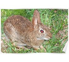 Cottontail close-up-Dedicated to BlueMoonRose Poster