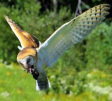 Barn Owl In Flight by vette