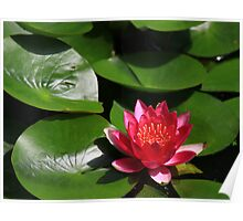 Lily Pad in Bloom Poster