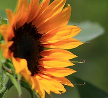 Sunflower by Michael L. Colwell