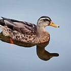 Reflections in Saugatuck - 3 - Mallard Duck by Robert Kelch, M.D.
