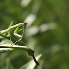 The Praying Mantis by baronpollak