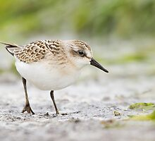 Semipalmated Sandpiper Checking Me Out. by Daniel Cadieux
