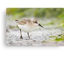 Semipalmated Sandpiper Checking Me Out. Canvas Print