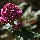 Flowering has started Leith Park Victoria 201509240391   by Fred Mitchell