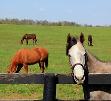 Curious Kentucky Horse by Michael L. Colwell