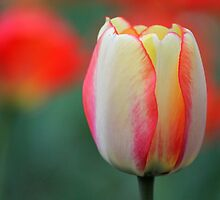 Tulip in Bloom by Michael L. Colwell