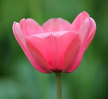 Pink Tulip by Michael L. Colwell