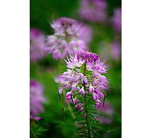 Violet Sonata Photographic Print