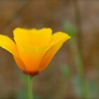 California Poppy by Kerry McQuaid