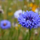 Blue Cornflower, Bachelor Button Photograph by Kerry McQuaid