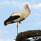MVP102 Stork on nesting platform. by David A. L. Davies