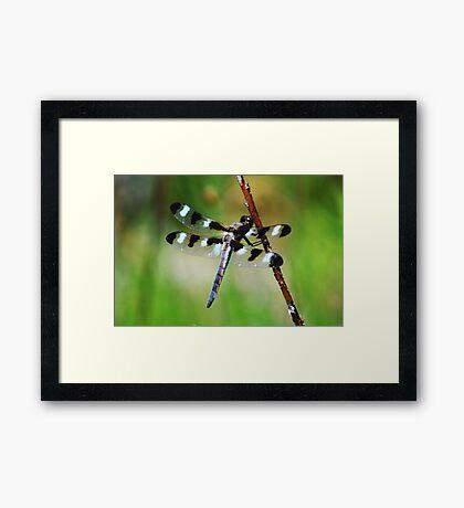Twelve Spotted Skimmer Framed Print